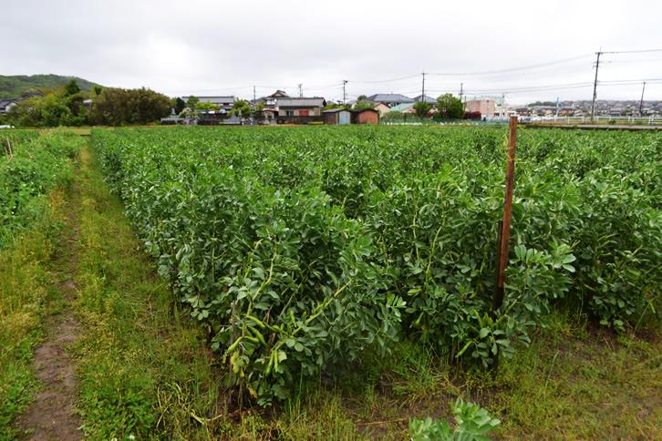 蚕豆栽培の様子